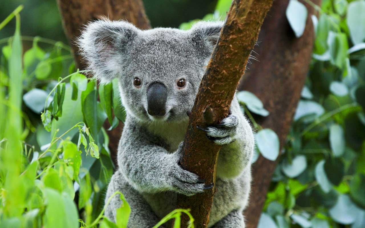 Cute Koala in tree